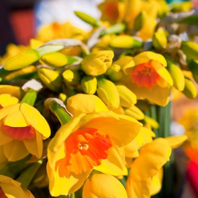 Jacksons Daffodils Flowers and Plants daffodils